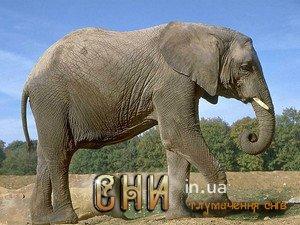 приснился Слон